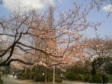 半蔵門付近の桜